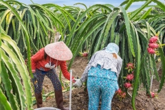 The women harvesting the dragon fruits